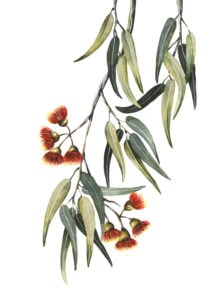 Dibuix d'Eucaliptus